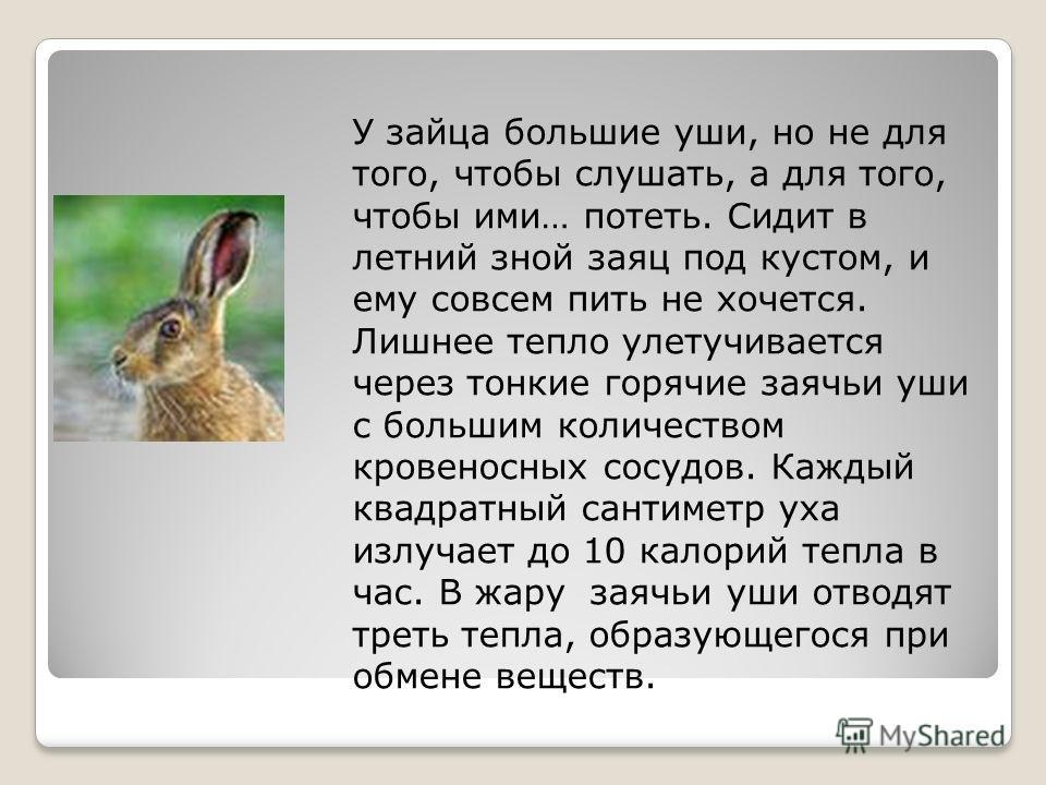 У зайца большие уши, но не для того, чтобы слушать, а для того, чтобы ими… потеть. Сидит в летний зной заяц под кустом, и ему совсем пить не хочется. Лишнее тепло улетучивается через тонкие горячие заячьи уши с большим количеством кровеносных сосудов