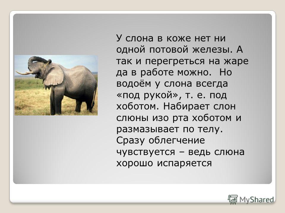 У слона в коже нет ни одной потовой железы. А так и перегреться на жаре да в работе можно. Но водоём у слона всегда «под рукой», т. е. под хоботом. Набирает слон слюны изо рта хоботом и размазывает по телу. Сразу облегчение чувствуется – ведь слюна х