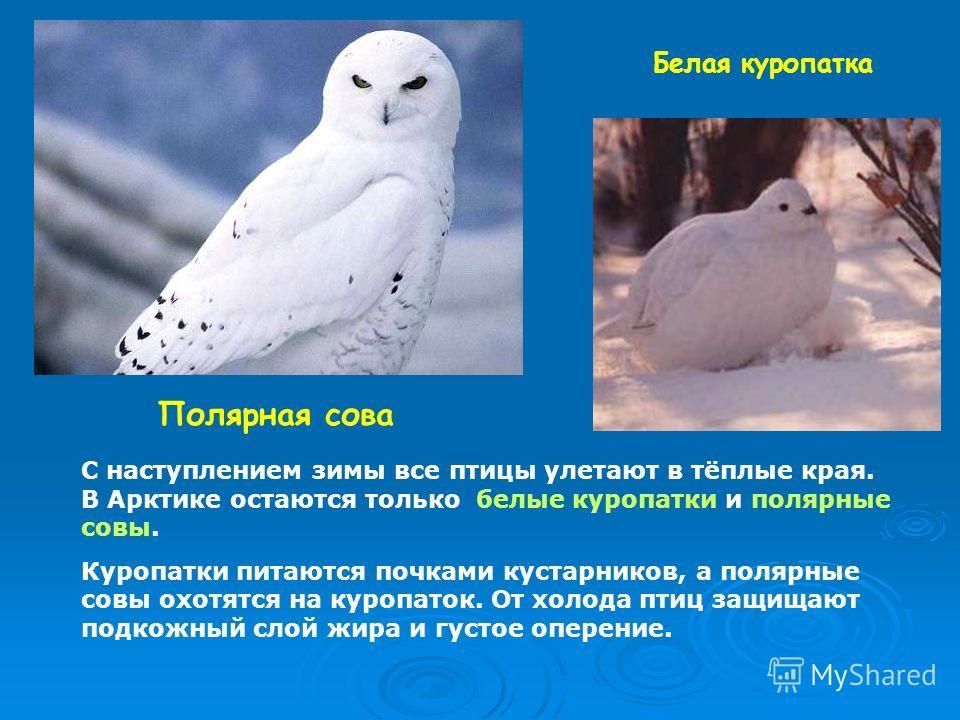 Полярная сова Белая куропатка С наступлением зимы все птицы улетают в тёплые края. В Арктике остаются только белые куропатки и полярные совы. Куропатки питаются почками кустарников, а полярные совы охотятся на куропаток. От холода птиц защищают подко