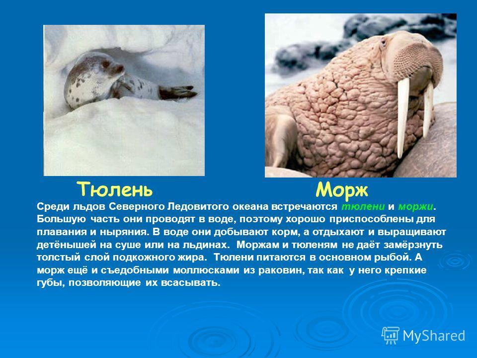 Морж Тюлень Среди льдов Северного Ледовитого океана встречаются тюлени и моржи. Большую часть они проводят в воде, поэтому хорошо приспособлены для плавания и ныряния. В воде они добывают корм, а отдыхают и выращивают детёнышей на суше или на льдинах