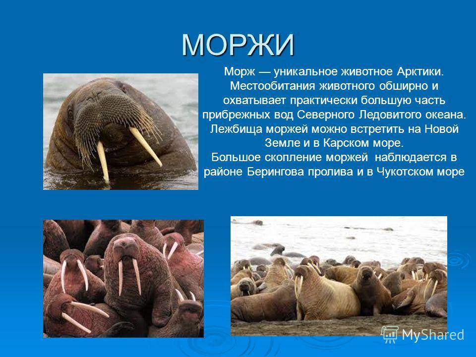 МОРЖИ Морж уникальное животное Арктики. Местообитания животного обширно и охватывает практически большую часть прибрежных вод Северного Ледовитого океана. Лежбища моржей можно встретить на Новой Земле и в Карском море. Большое скопление моржей наблюд