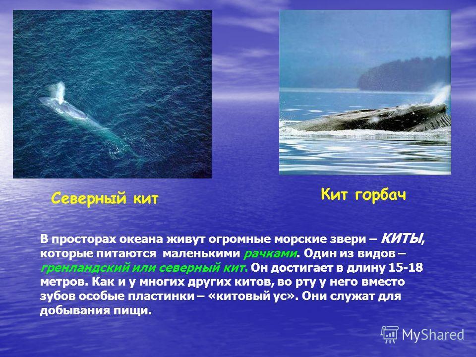 Северный кит Кит горбач В просторах океана живут огромные морские звери – КИТЫ, которые питаются маленькими рачками. Один из видов – гренландский или северный кит. Он достигает в длину 15-18 метров. Как и у многих других китов, во рту у него вместо з
