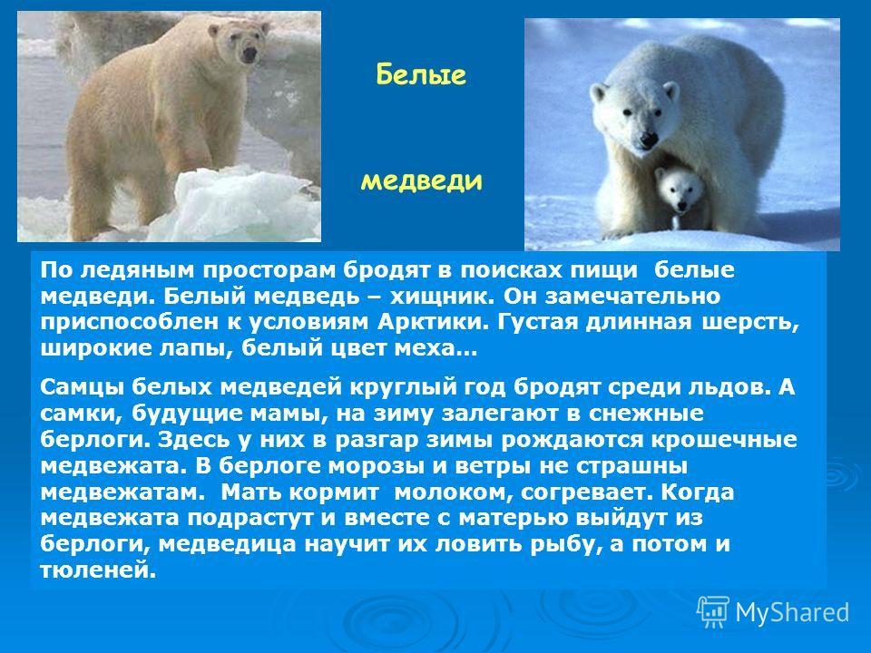 Белые медведи По ледяным просторам бродят в поисках пищи белые медведи. Белый медведь – хищник. Он замечательно приспособлен к условиям Арктики. Густая длинная шерсть, широкие лапы, белый цвет меха… Самцы белых медведей круглый год бродят среди льдов