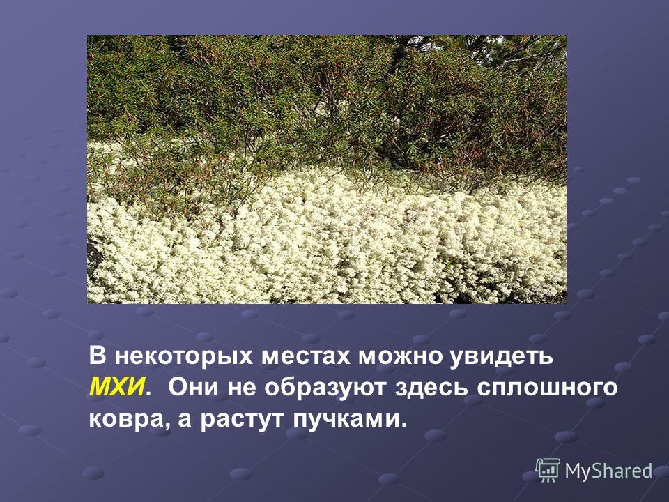 В некоторых местах можно увидеть МХИ. Они не образуют здесь сплошного ковра, а растут пучками.