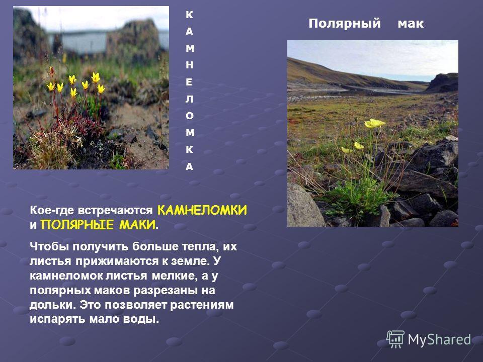 КАМНЕЛОМКАКАМНЕЛОМКА Полярный мак Кое-где встречаются КАМНЕЛОМКИ и ПОЛЯРНЫЕ МАКИ. Чтобы получить больше тепла, их листья прижимаются к земле. У камнеломок листья мелкие, а у полярных маков разрезаны на дольки. Это позволяет растениям испарять мало во