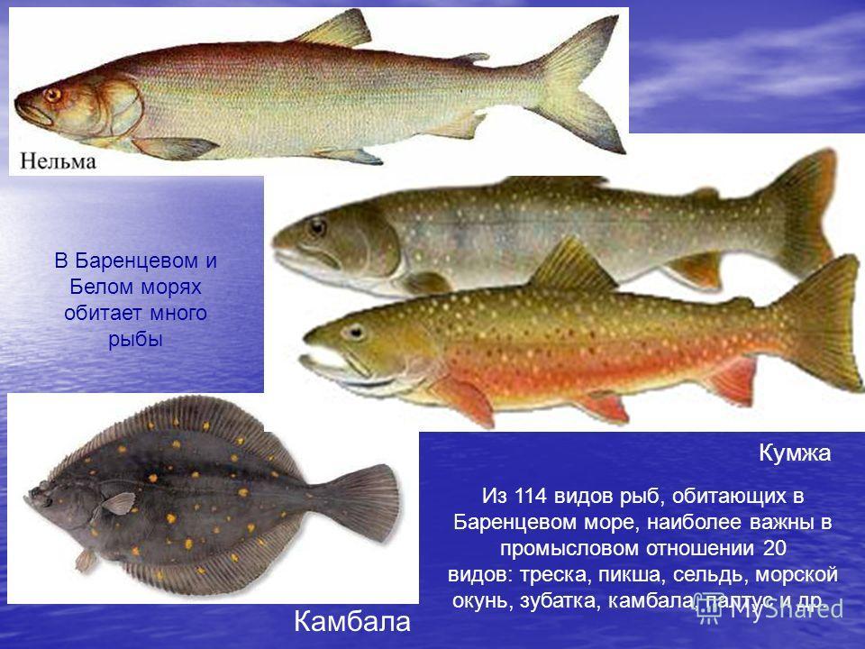 Кумжа Камбала В Баренцевом и Белом морях обитает много рыбы Из 114 видов рыб, обитающих в Баренцевом море, наиболее важны в промысловом отношении 20 видов: треска, пикша, сельдь, морской окунь, зубатка, камбала, палтус и др.