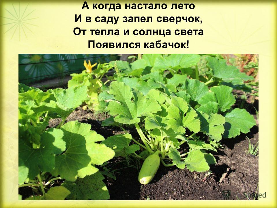 А когда настало лето И в саду запел сверчок, От тепла и солнца света Появился кабачок!