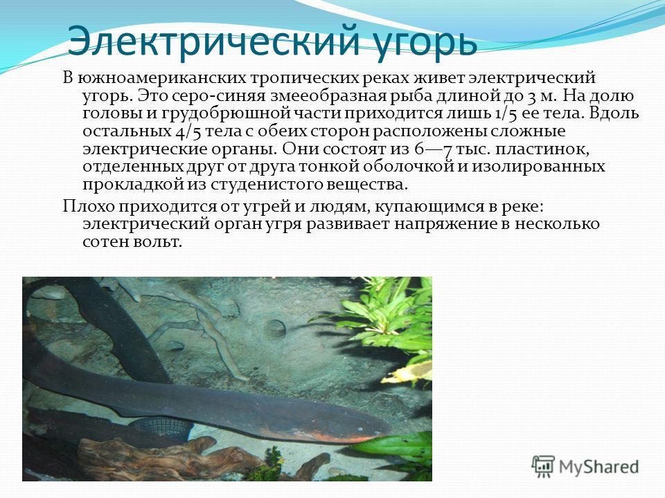 Электрический угорь В южноамериканских тропических реках живет электрический угорь. Это серо-синяя змееобразная рыба длиной до 3 м. На долю головы и грудобрюшной части приходится лишь 1/5 ее тела. Вдоль остальных 4/5 тела с обеих сторон расположены с