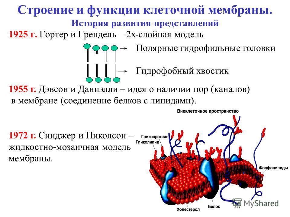 Строение и функции клеточной мембраны. История развития представлений 1925 г. Гортер и Грендель – 2 х-слойная модель Полярные гидрофильные головки Гидрофобный хвостик 1955 г. Дэвсон и Даниэлли – идея о наличии пор (каналов) в мембране (соединение бел