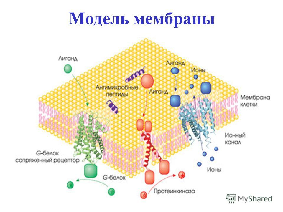 Модель мембраны
