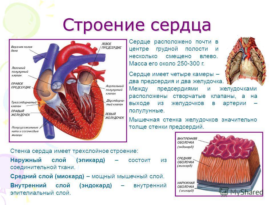 Строение сердца Сердце имеет четыре камеры – два предсердия и два желудочка. Между предсердиями и желудочками расположены створчатые клапаны, а на выходе из желудочков в артерии – полулунные. Мышечная стенка желудочков значительно толще стенки предсе