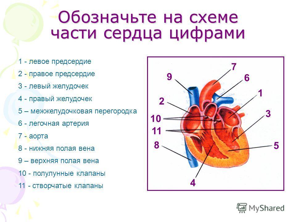 Обозначьте на схеме части сердца цифрами 1 - левое предсердие 2 - правое предсердие 3 - левый желудочек 4 - правый желудочек 5 – межжелудочковая перегородка 6 - легочная артерия 7 - аорта 8 - нижняя полая вена 9 – верхняя полая вена 10 - полулунные к