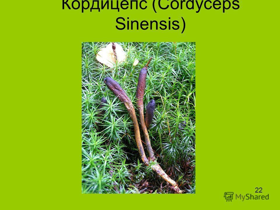 Кордицепс (Cordyceps Sinensis) 22