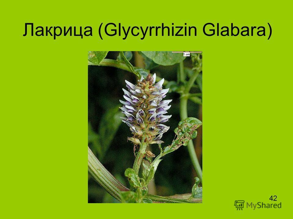 Лакрица (Glycyrrhizin Glabara) 42