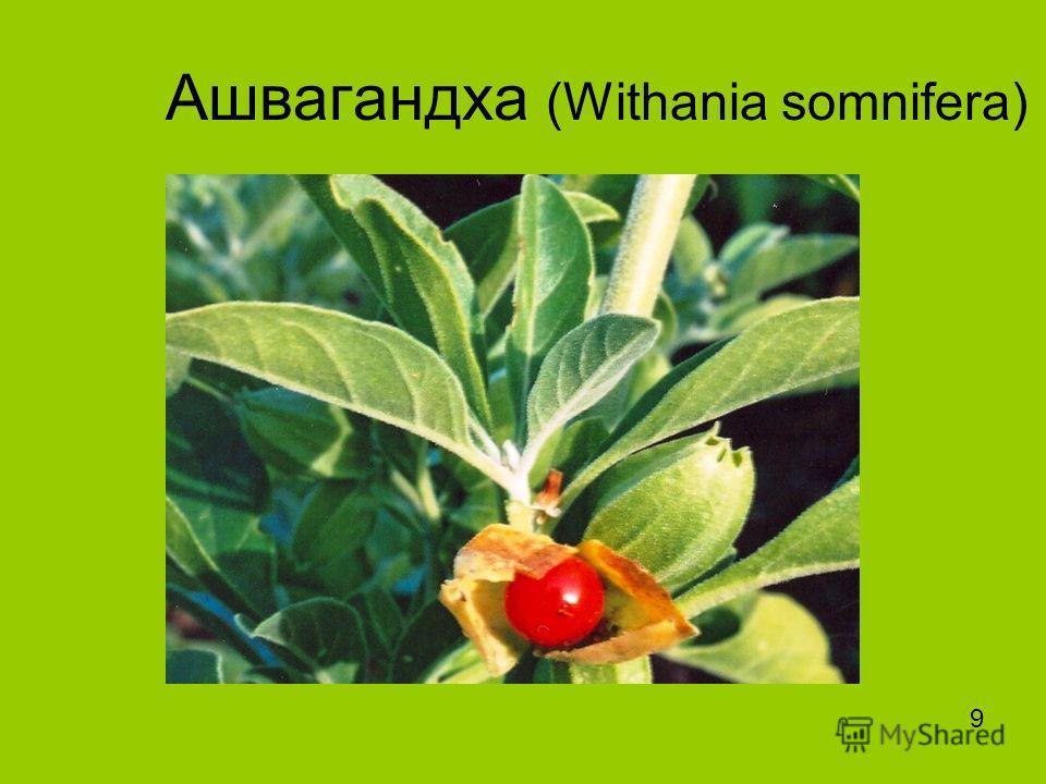 Ашвагандха (Withania somnifera) 9