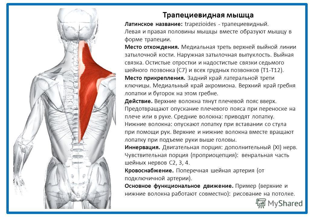 Трапециевидная мышца Латинское название: trapezioides - трапециевидный. Левая и правая половины мышцы вместе образуют мышцу в форме трапеции. Место отхождения. Медиальная треть верхней выйной линии затылочной кости. Наружная затылочная выпуклость. Вы