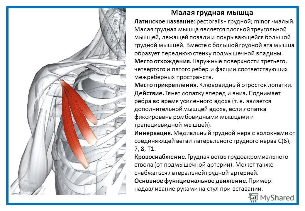 Малая грудная мышца Латинское название: pectoralis - грудной; minor -малый. Малая грудная мышца является плоской треугольной мышцей, лежащей позади и покрывающейся большой грудной мышцей. Вместе с большой грудной эта мышца образует переднюю стенку по