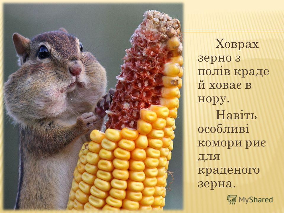Ховрах зерно з полів краде й ховає в нору. Навіть особливі комори риє для краденого зерна.