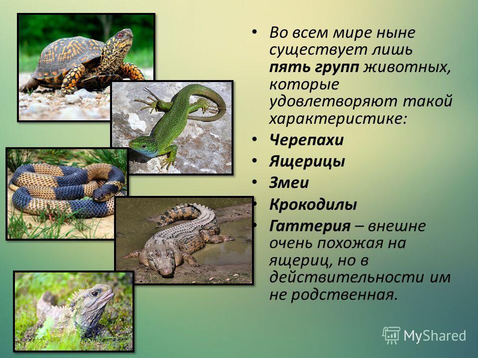 Во всем мире ныне существует лишь пять групп животных, которые удовлетворяют такой характеристике: Черепахи Ящерицы Змеи Крокодилы Гаттерия – внешне очень похожая на ящериц, но в действительности им не родственная.