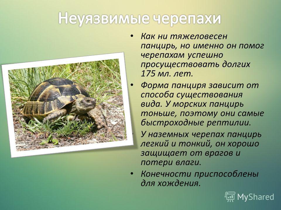Как ни тяжеловесен панцирь, но именно он помог черепахам успешно просуществовать долгих 175 мл. лет. Форма панциря зависит от способа существования вида. У морских панцирь тоньше, поэтому они самые быстроходные рептилии. У наземных черепах панцирь ле