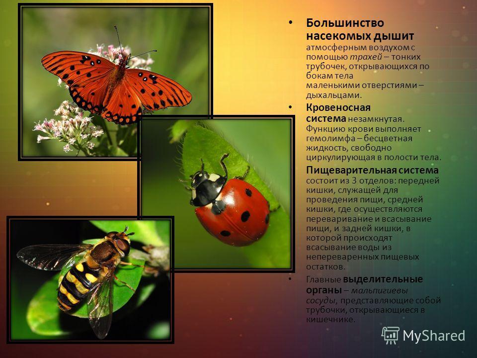 Большинство насекомых дышит атмосферным воздухом с помощью трахей – тонких трубочек, открывающихся по бокам тела маленькими отверстиями – дыхальцами. Кровеносная система незамкнутая. Функцию крови выполняет гемолимфа – бесцветная жидкость, свободно ц
