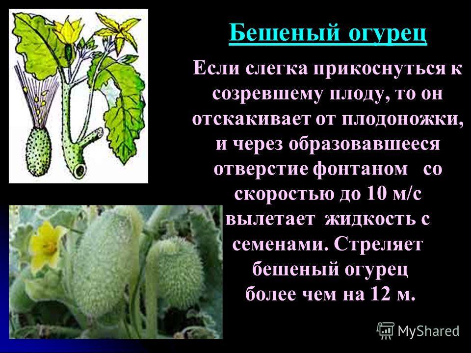 Бешеный огурец Если слегка прикоснуться к созревшему плоду, то он отскакивает от плодоножки, и через образовавшееся отверстие фонтаном со скоростью до 10 м/с вылетает жидкость с семенами. Стреляет бешеный огурец более чем на 12 м.