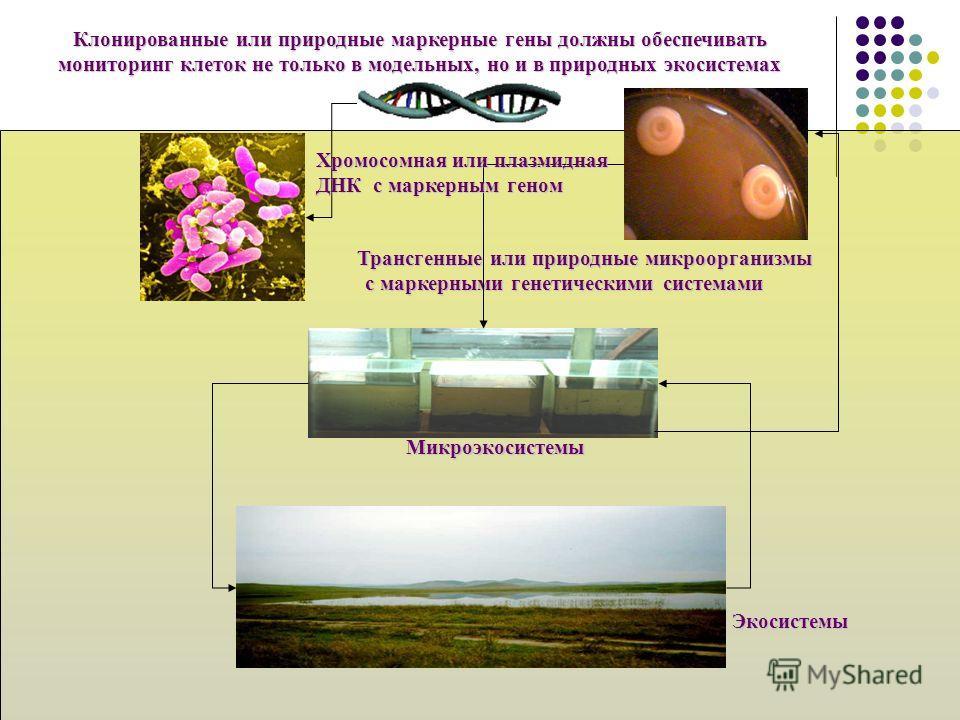 Клонированные или природные маркерные гены должны обеспечивать мониторинг клеток не только в модельных, но и в природных экосистемах Трансгенные или природные микроорганизмы Трансгенные или природные микроорганизмы с маркерными генетическими системам