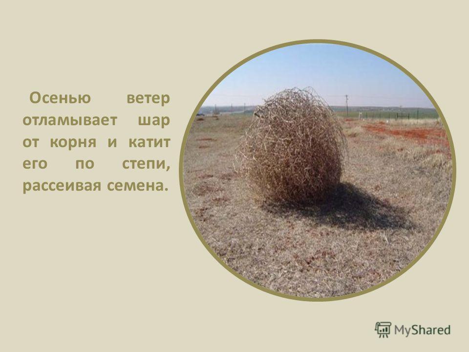 Осенью ветер отламывает шар от корня и катит его по степи, рассеивая семена.