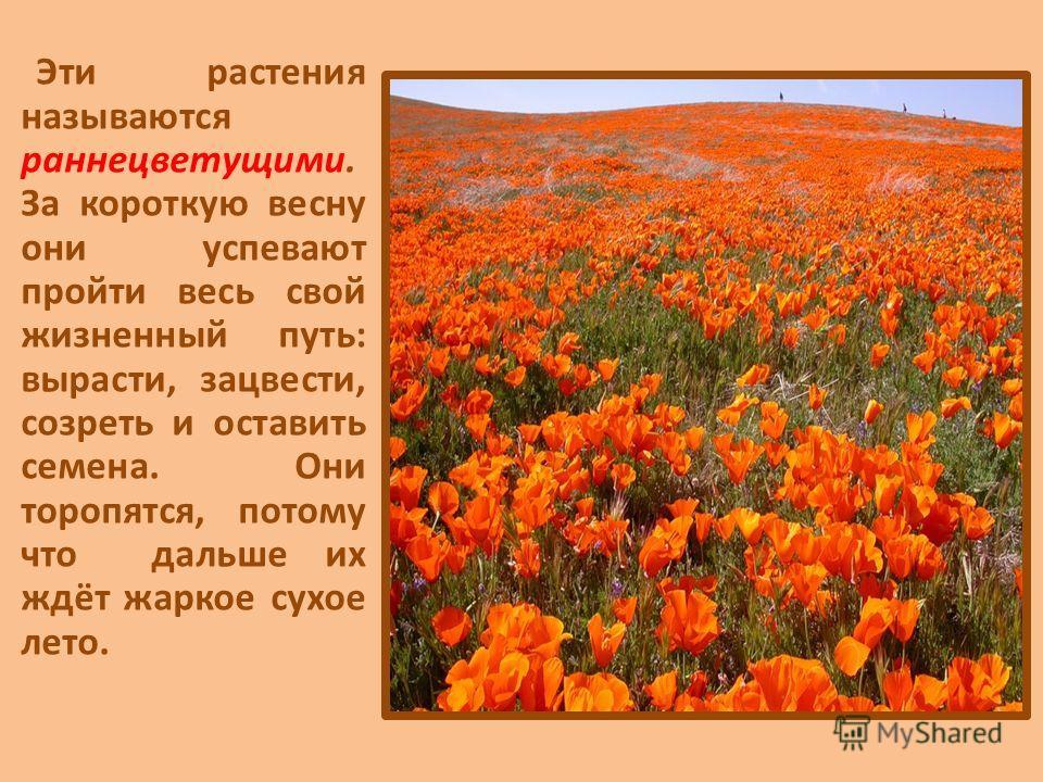 Эти растения называются раннецветущими. За короткую весну они успевают пройти весь свой жизненный путь: вырасти, зацвести, созреть и оставить семена. Они торопятся, потому что дальше их ждёт жаркое сухое лето.