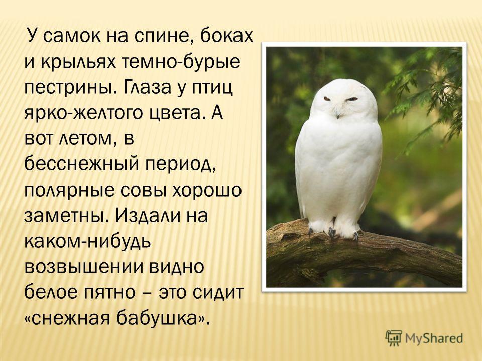 У самок на спине, боках и крыльях темно-бурые пестрины. Глаза у птиц ярко-желтого цвета. А вот летом, в бесснежный период, полярные совы хорошо заметны. Издали на каком-нибудь возвышении видно белое пятно – это сидит «снежная бабушка».