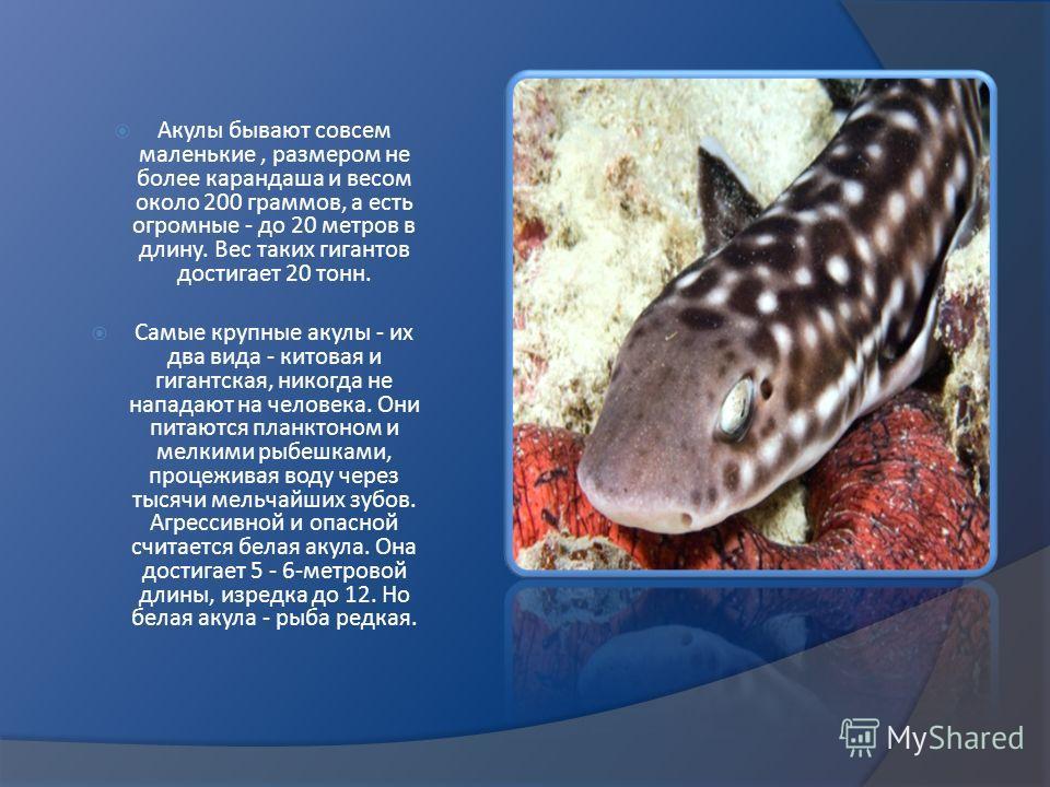 Акулы бывают совсем маленькие, размером не более карандаша и весом около 200 граммов, а есть огромные - до 20 метров в длину. Вес таких гигантов достигает 20 тонн. Самые крупные акулы - их два вида - китовая и гигантская, никогда не нападают на челов