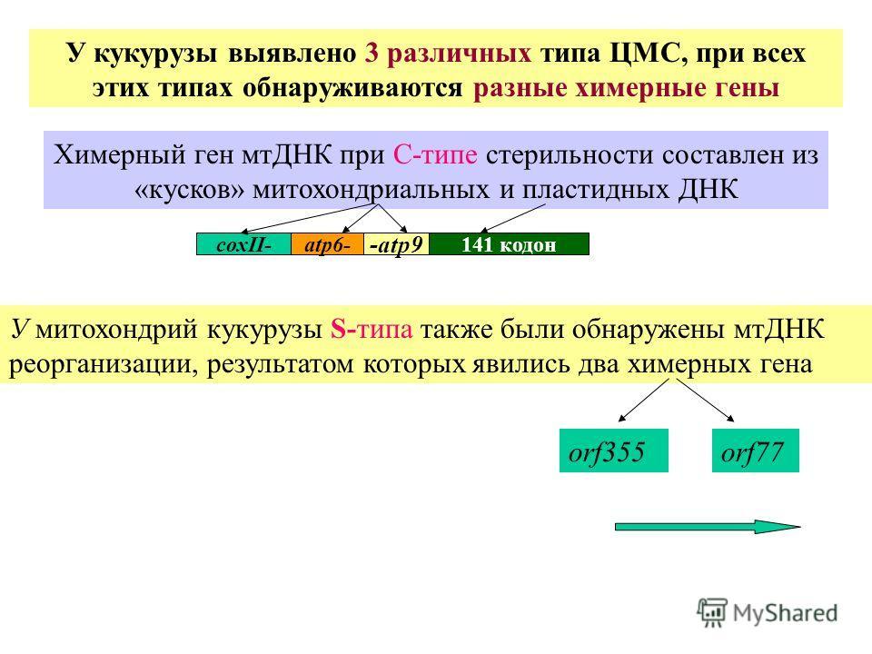 У митохондрий кукурузы S-типа также были обнаружены мтДНК реорганизации, результатом которых явились два химерных гена У кукурузы выявлено 3 различных типа ЦМС, при всех этих типах обнаруживаются разные химерные гены Химерный ген мтДНК при С-типе сте