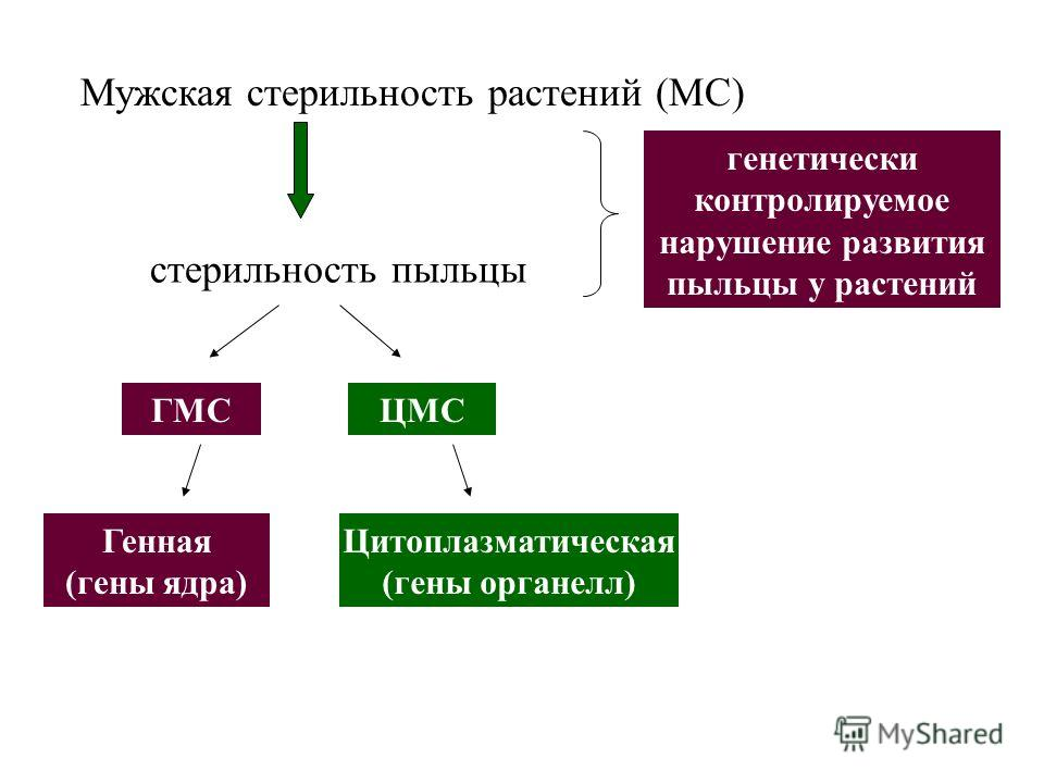 Мужская стерильность растений (МС) стерильность пыльцы генетически контролируемое нарушение развития пыльцы у растений ГМСЦМС Генная (гены ядра) Цитоплазматическая (гены органелл)