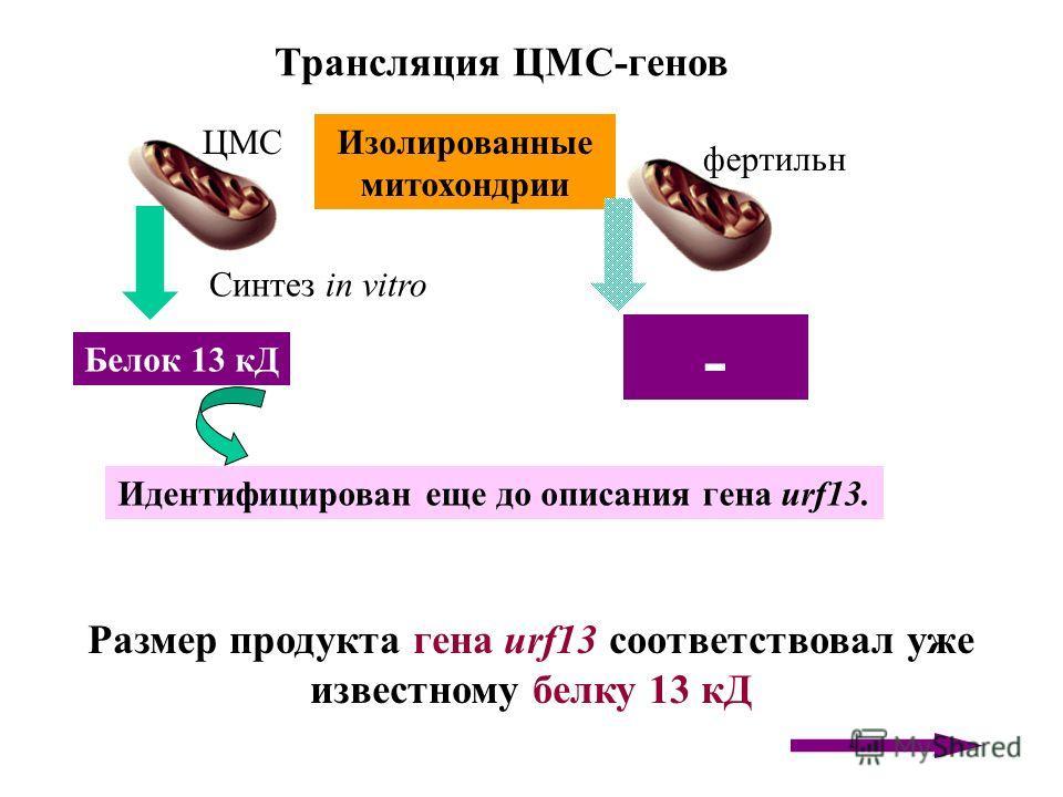 Трансляция ЦМС-генов Размер продукта гена urf13 соответствовал уже известному белку 13 кД Белок 13 кД Синтез in vitro Изолированные митохондрии ЦМС фертильна - Идентифицирован еще до описания гена urf13.