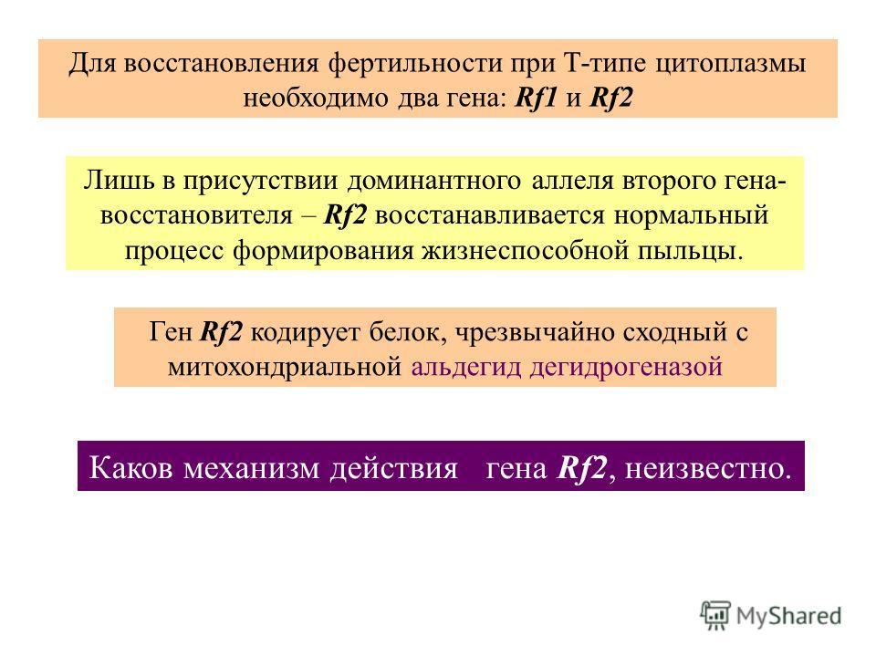 Лишь в присутствии доминантного аллеля второго гена- восстановителя – Rf2 восстанавливается нормальный процесс формирования жизнеспособной пыльцы. Каков механизм действия гена Rf2, неизвестно. Ген Rf2 кодирует белок, чрезвычайно сходный с митохондриа