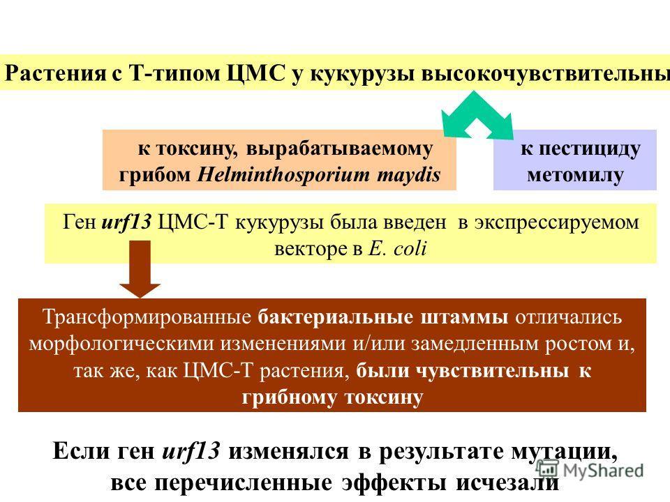 к токсину, вырабатываемому грибом Helminthosporium maydis Растения с Т-типом ЦМС у кукурузы высокочувствительны к пестициду метомилу Ген urf13 ЦМС-T кукурузы была введен в экспрессируемом векторе в E. сoli Трансформированные бактериальные штаммы отли