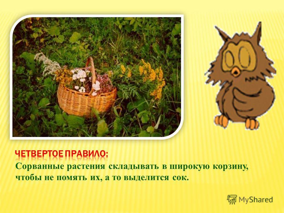 Сорванные растения складывать в широкую корзину, чтобы не помять их, а то выделится сок.