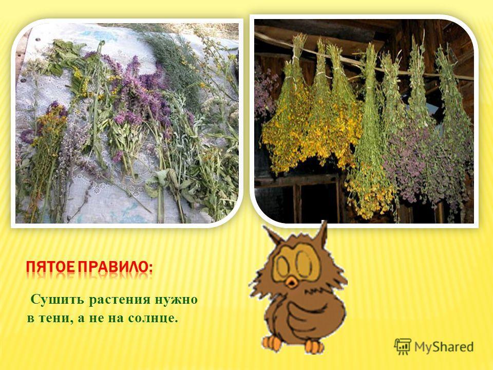 Сушить растения нужно в тени, а не на солнце.