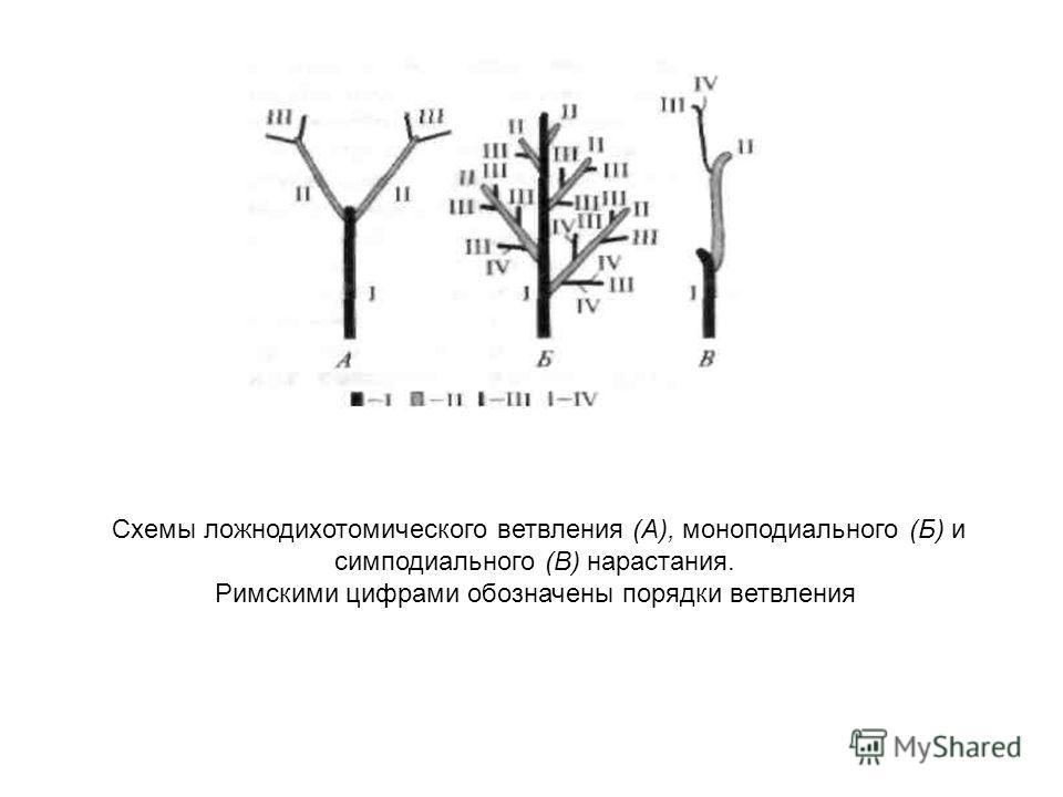 Схемы ложнодихотомического ветвления (А), моноподиальноего (Б) и симподиального (В) нарастания. Римскими цифрами обозначены порядки ветвления