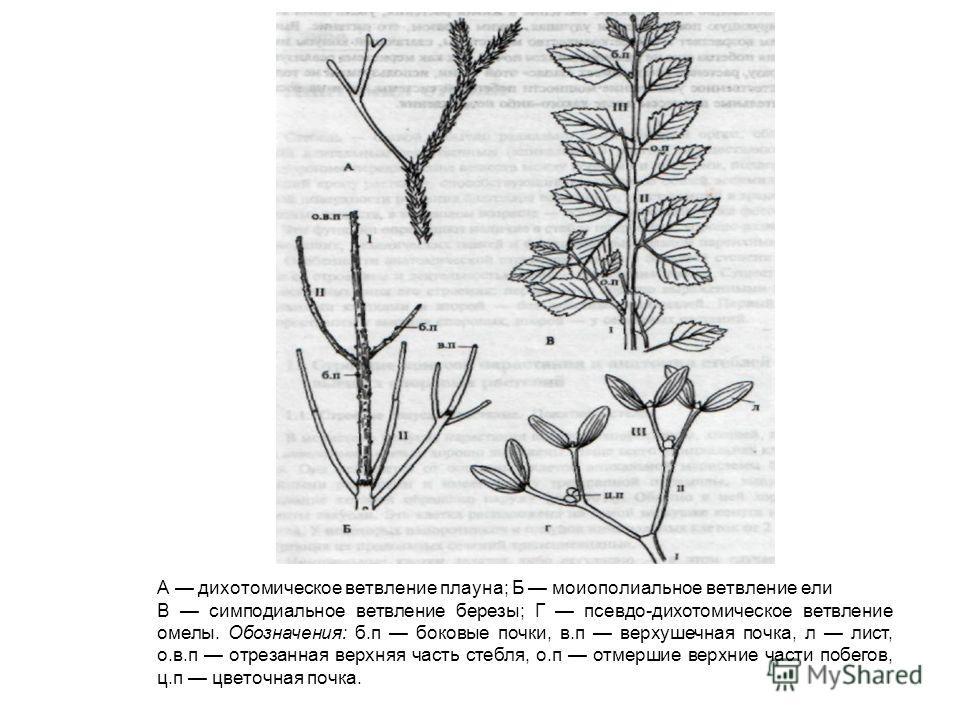 А дихотомическое ветвление плауна; Б моноподиальноее ветвление ели В симподиальное ветвление березы; Г псевдо-дихотомическое ветвление омелы. Обозначения: б.п боковые почки, в.п верхушечная почка, л лист, о.в.п отрезанная верхняя часть стебля, о.п от