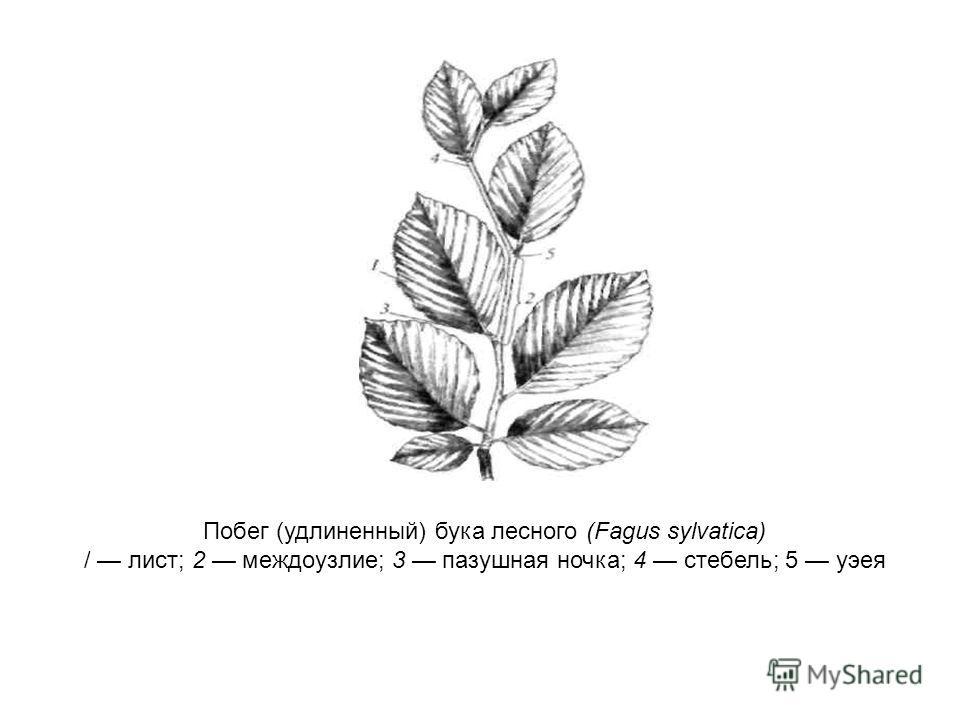 Побег (удлиненный) бука лесного (Fagus sylvatica) / лист; 2 междоузлие; 3 пазушная ночка; 4 стебель; 5 уэея