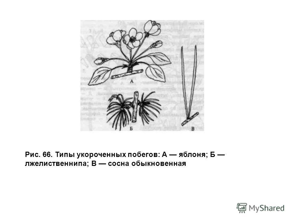 Рис. 66. Типы укороченных побегов: А яблоня; Б лжелиственнипа; В сосна обыкновенная