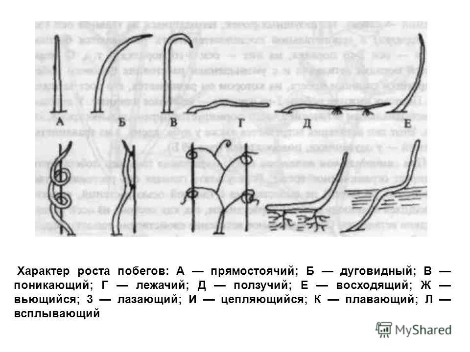 Характер роста побегов: А прямостоячий; Б дуговидный; В поникающий; Г лежачий; Д ползучий; Е восходящий; Ж вьющийся; 3 лазающий; И цепляющийся; К плавающий; Л всплывающий