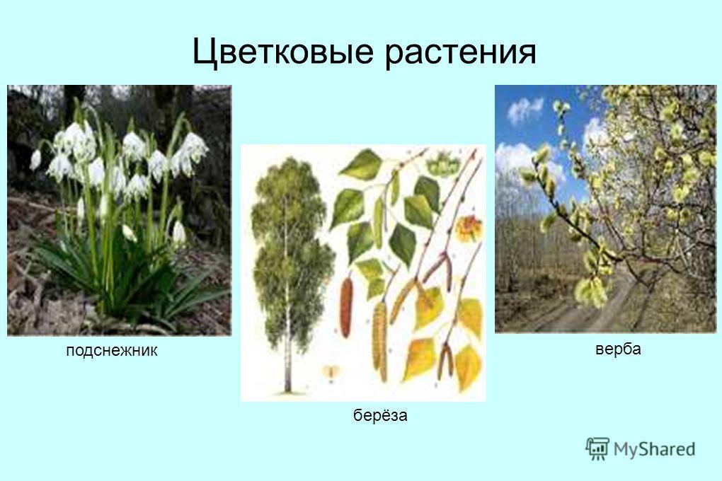 Цветковые растения подснежник верба берёза