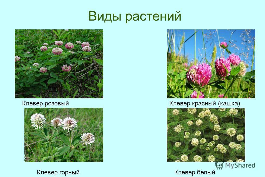 Виды растений Клевер розовый Клевер красный (кашка) Клевер белый Клевер горный