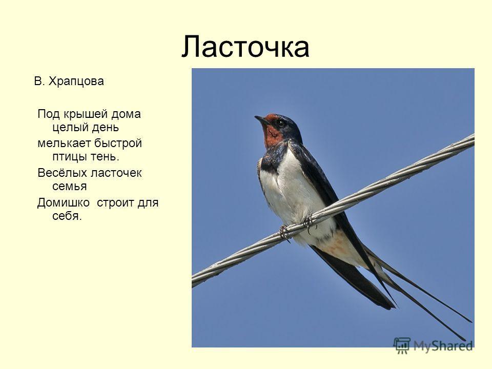 Ласточка В. Храпцова Под крышей дома целый день мелькает быстрой птицы тень. Весёлых ласточек семья Домишко строит для себя.