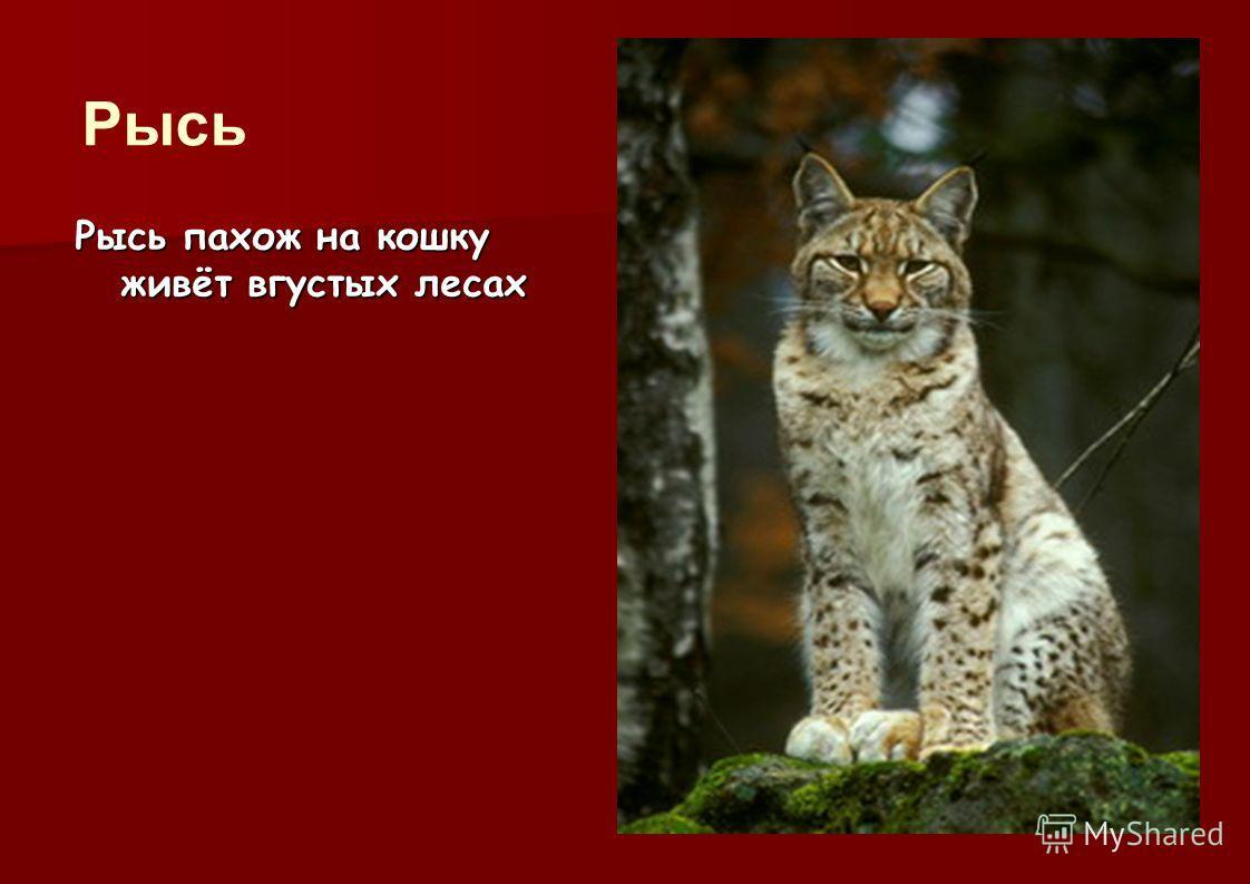 Рысь похож на кошку живёт в густых лесах Рысь