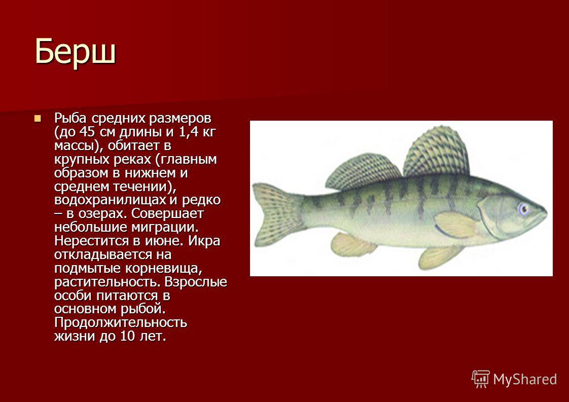Берш Рыба средних размеров (до 45 см длины и 1,4 кг массы), обитает в крупных реках (главным образом в нижнем и среднем течении), водохранилищах и редко – в озерах. Совершает небольшие миграции. Нерестится в июне. Икра откладывается на подмытые корне