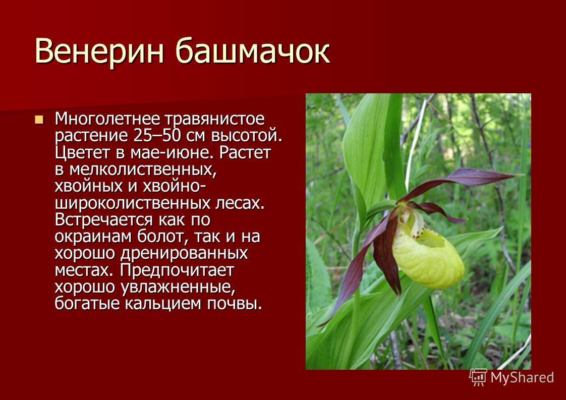 Венерин башмачок Многолетнее травянистое растение 25–50 см высотой. Цветет в мае-июне. Растет в мелколиственных, хвойных и хвойно- широколиственных лесах. Встречается как по окраинам болот, так и на хорошо дренированных местах. Предпочитает хорошо ув
