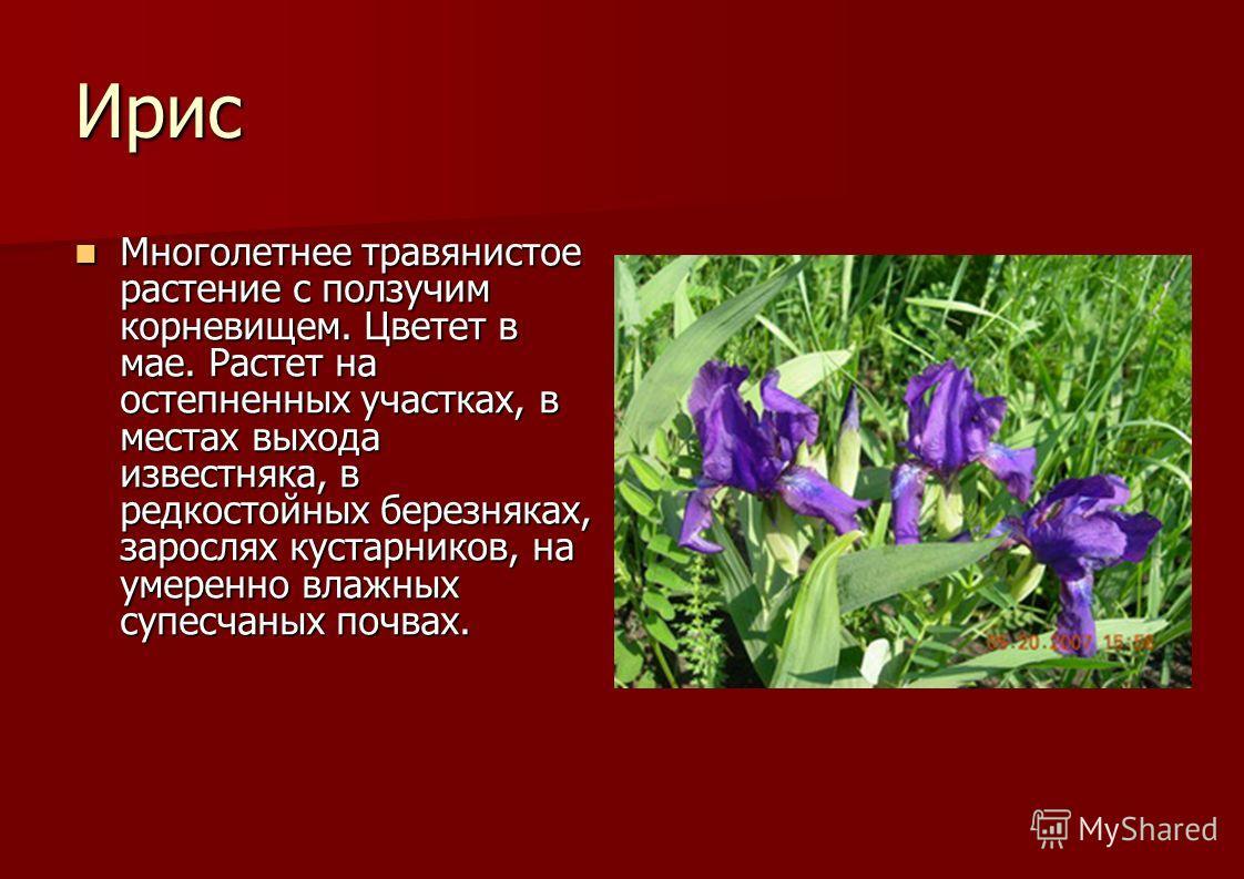 Ирис Многолетнее травянистое растение с ползучим корневищем. Цветет в мае. Растет на остепненных участках, в местах выхода известняка, в редкостойных березняках, зарослях кустарников, на умеренно влажных супесчаных почвах. Многолетнее травянистое рас